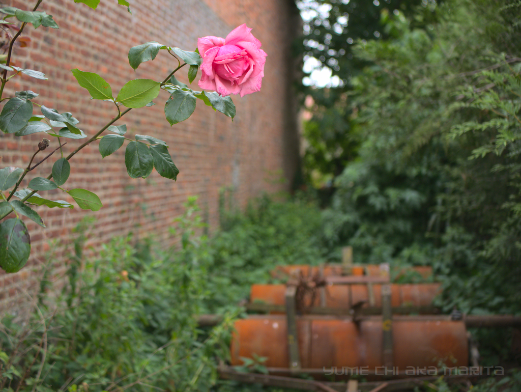 Of Rose and Rust 2